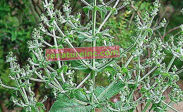 Salvia hispanica L.: o que é e benefícios