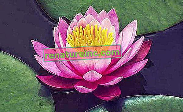 Fleur de lotus: signification, utilisations et avantages