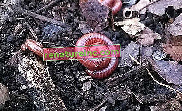 Prema istraživanju, životinja zvana uš zmija proizvodi visokokvalitetno gnojivo