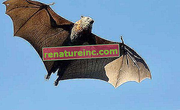 En savoir plus sur les chauves-souris