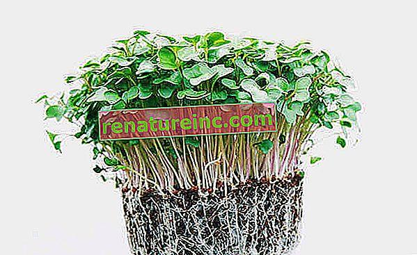 ¿Por qué cultivar brotes comestibles?