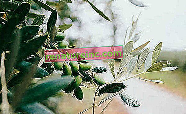 Fordeler med blader og hvordan du lager oliven te