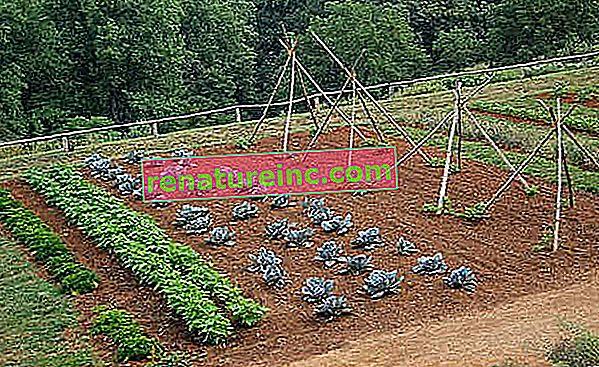 Tečaj ekološkega vrta št. 5: kako to narediti in kakšne so prednosti rotacije in posevanja rastlin