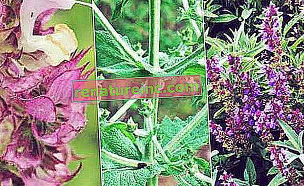 Salvia: para que sirve, tipos y beneficios