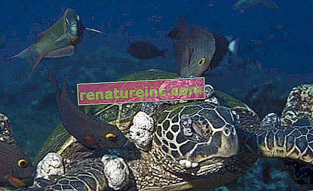 La contaminación marina causa tumores en las tortugas