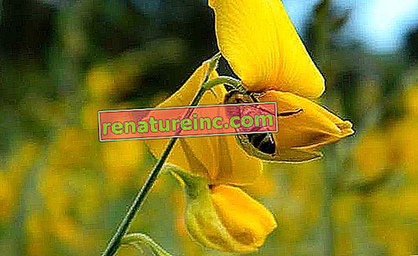Kvet je prírodná možnosť repelentu proti dengue