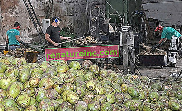 Grønt kokosnøttskall kan brukes til å produsere vegetabilske fibre