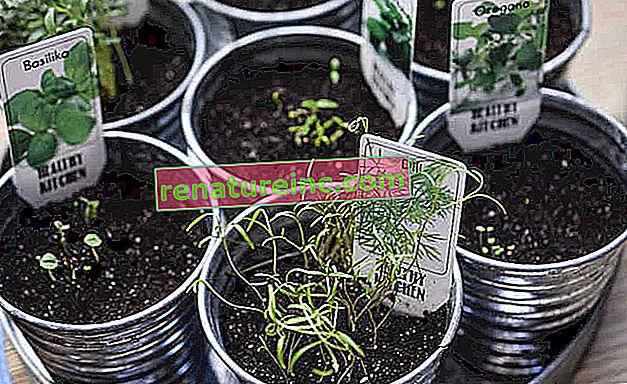 Neuf herbes et plantes qui servent de remèdes naturels pouvant être cultivés à la maison (partie 2)