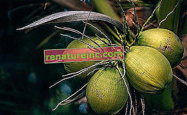 Kokosovo voće Bahia ima obećavajuću tvar protiv virusa herpesa