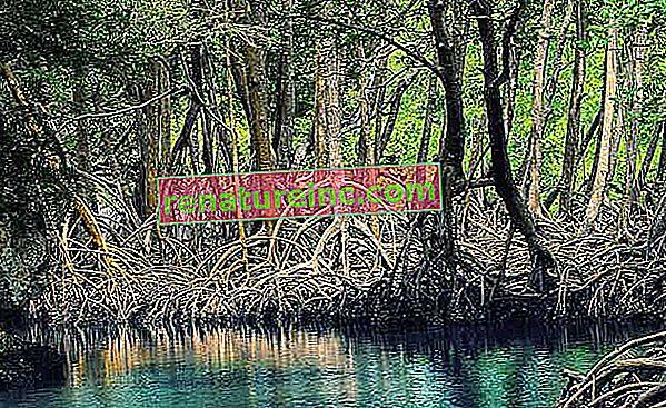Mangrove so zavezniki v boju proti podnebnim spremembam