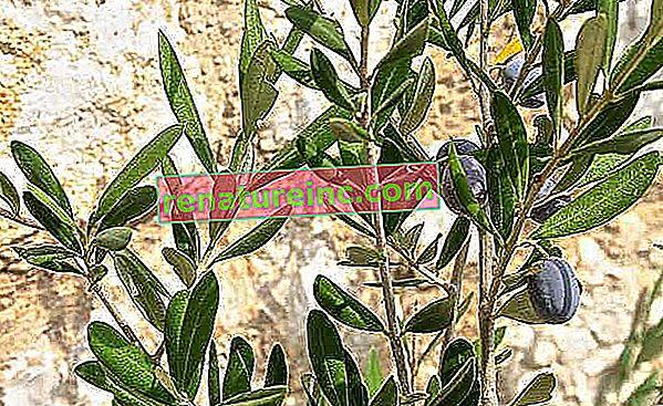 Las hojas de olivo ayudan a combatir la diabetes, la hipertensión y más