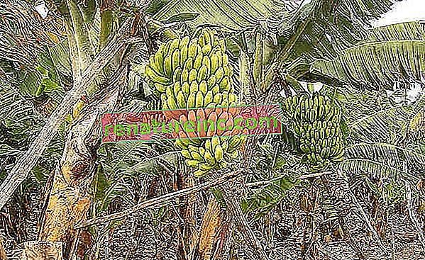 Overdreven brug af pesticider på bananplantager i Costa Rica gør krokodiller syge