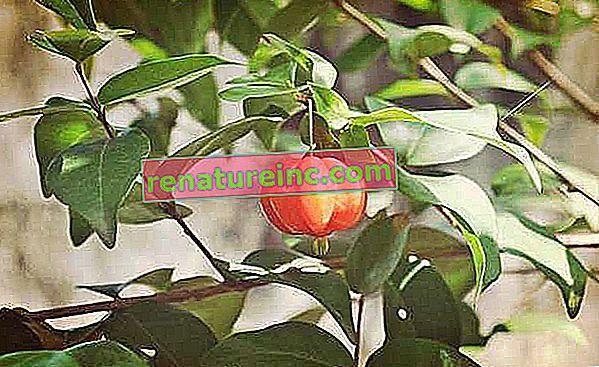 Herbata Pitanga: właściwości lecznicze i do czego służy