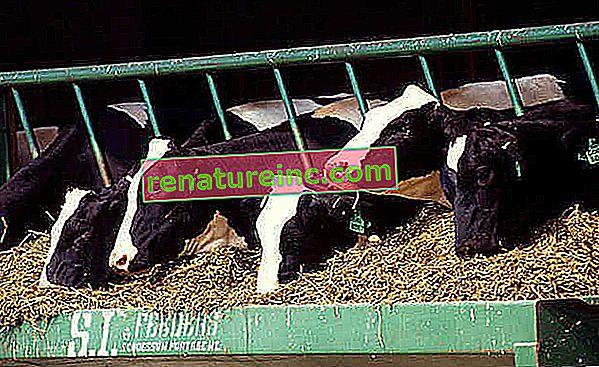 La cría intensiva de animales para el consumo de carne tiene impactos sobre el medio ambiente y la salud del consumidor