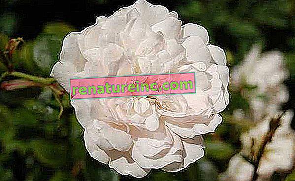 Бяла роза: ползите от нея и как да си приготвите чай