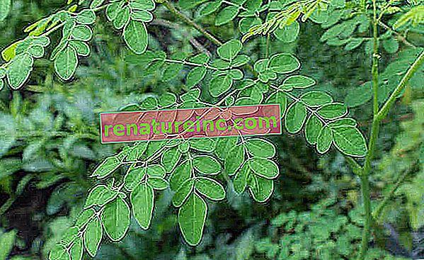 Moringa oleifera a des avantages incroyables