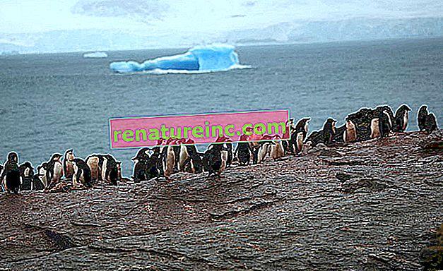 Adelie pingvini zaobilaze globalno zagrijavanje
