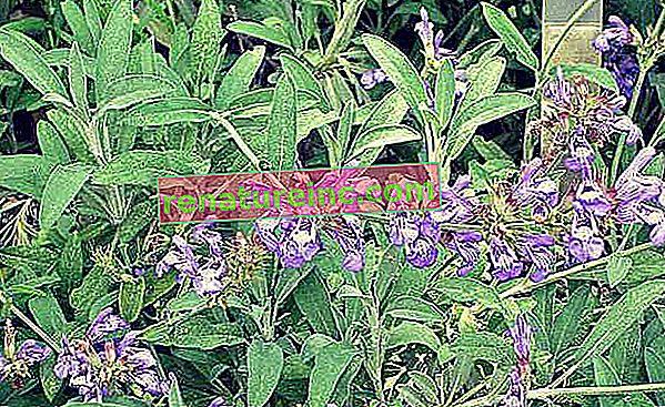 Salvia officinalis: videnskabeligt dokumenterede fordele