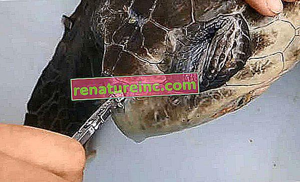 Forskere fjerner plaststrå, der sidder fast i skildpaddens næsebor. Ur