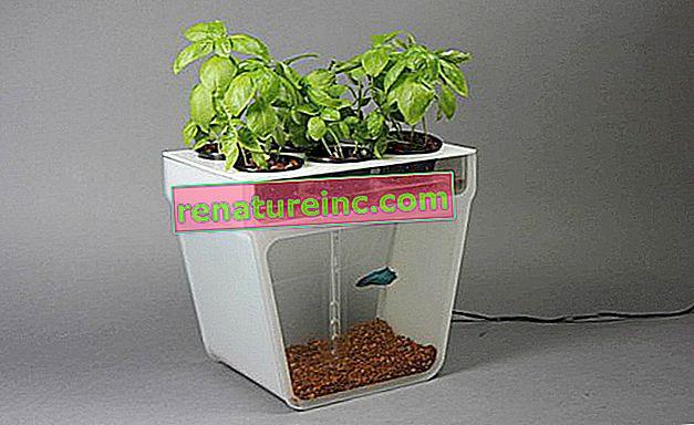 Le pot durable est à la fois potager et aquarium