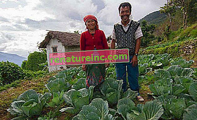 La orina utilizada como fertilizante mejora la producción de los agricultores del Himalaya