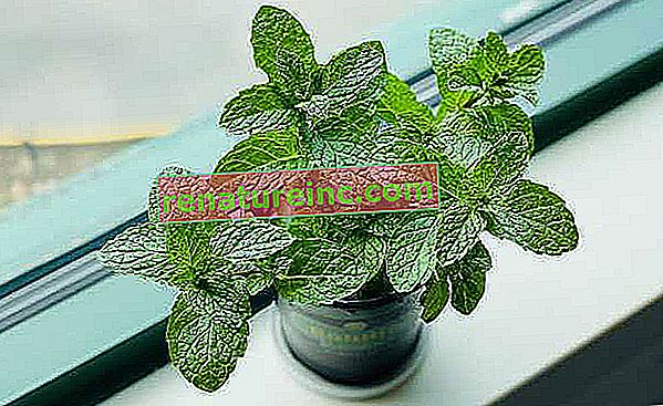 Mint: koristi in kako saditi