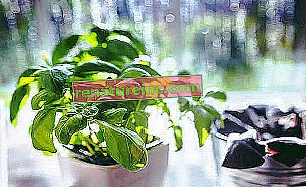 Bazalka: výhody, spôsob použitia a rastliny