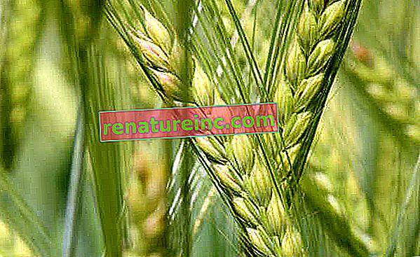 Alcool extrait de céréales