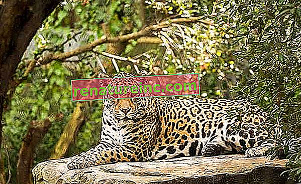 Poznaj jaguara