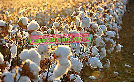 Coton biologique: ce que c'est et ses avantages