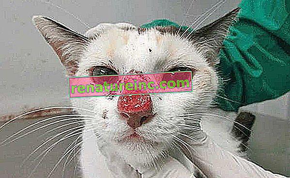 Sporotrichose: la maladie peut affecter les chats et les humains