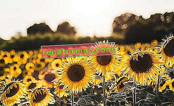 Olej słonecznikowy: poznaj zalety i właściwości