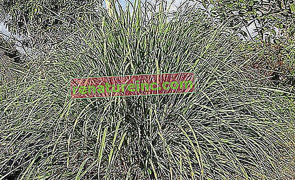 שישה צמחים הפועלים כחומר דוחה טבעי