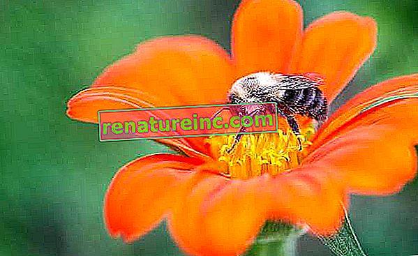 Betydningen av bier