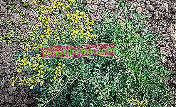 ארודה: יתרונות הצמח והתה שלו