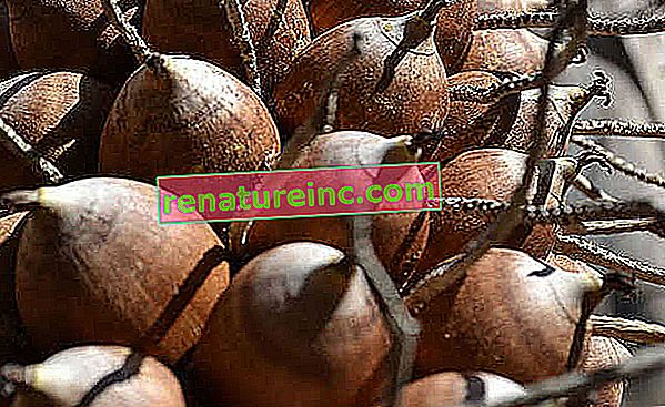 Kokosovo ulje Babassu: čemu služi