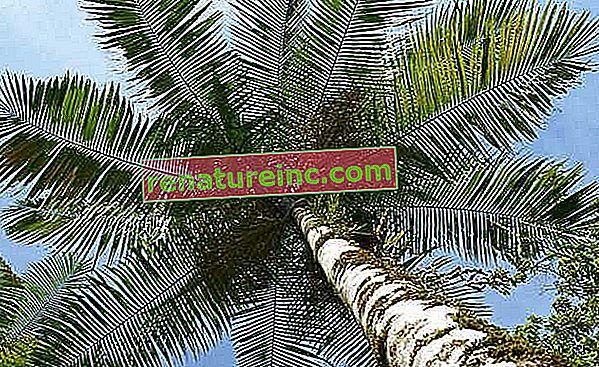 La palma de la que se extrae el palmito juçara puede estar cerca de extinguirse en la naturaleza