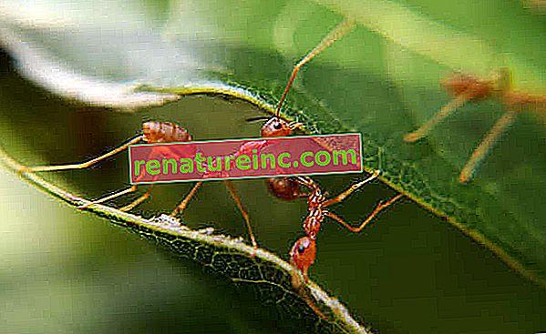 Как да убием мравките по естествен път