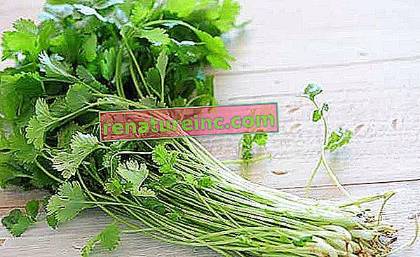 Korijander: kaj je in koristi koriandrovih listov in semen