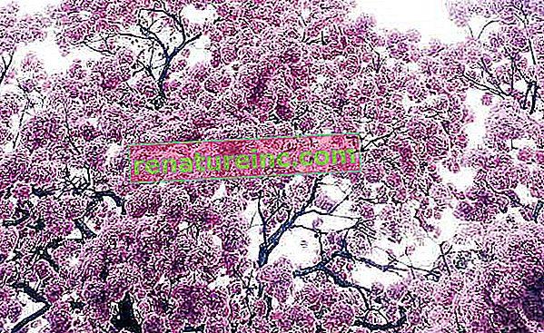 Thé Ipe-violet: à quoi ça sert