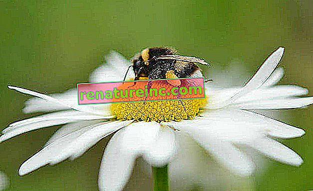 Disparition ou extinction des abeilles: comment éviter?